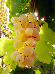 Виноград-Янтарный