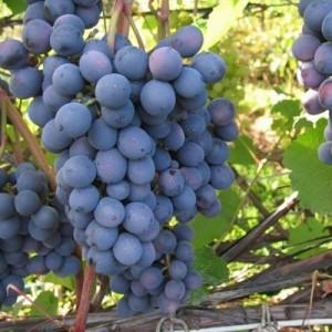 vinograd-agat-donskoy